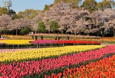 Parque Nabana no Sato | As mais belas flores do Japão