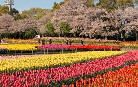 Parque Nabana no Sato | As mais belas flores do Japão